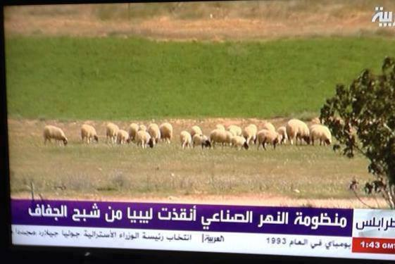 libyan sheep