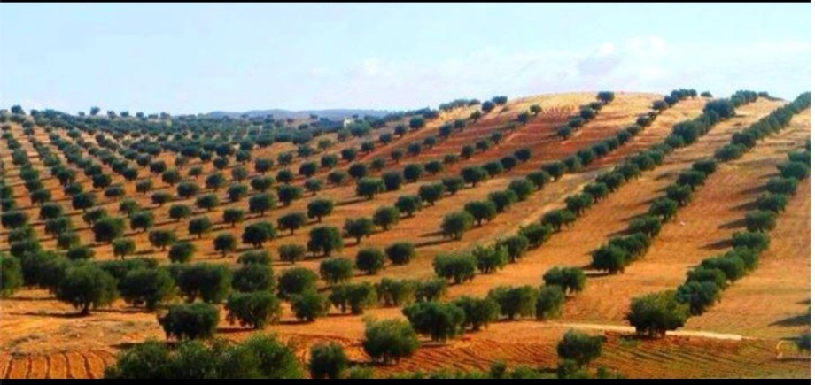 Olive groves in the city Tarhounah over looked Mchae