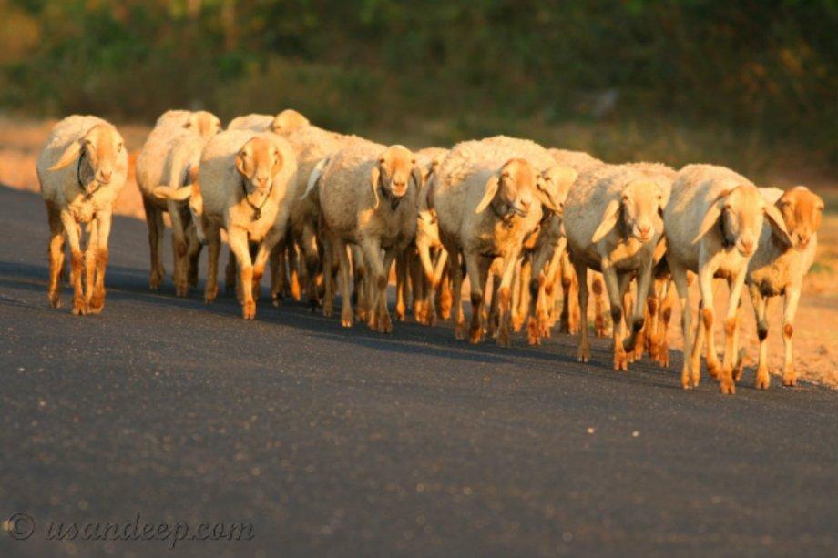 sheep-herd-at-gundulpet