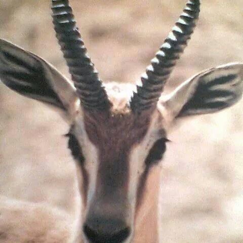 Reem Gazelle, place of Hamada