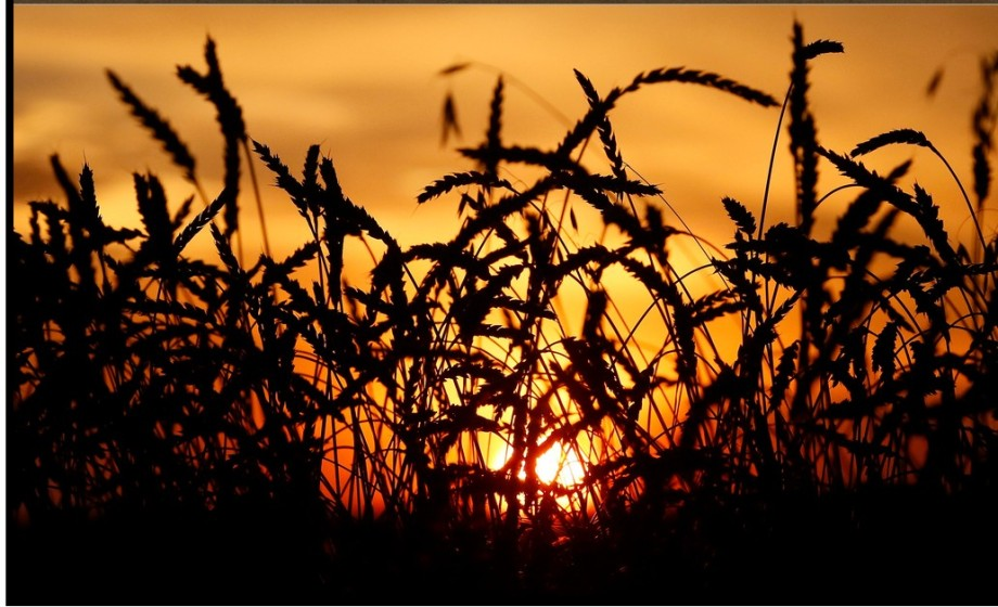 TOXIC STRAIN mixed unto the wheat when harvested
